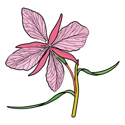 Learn how to draw an Orchid flower drawing
